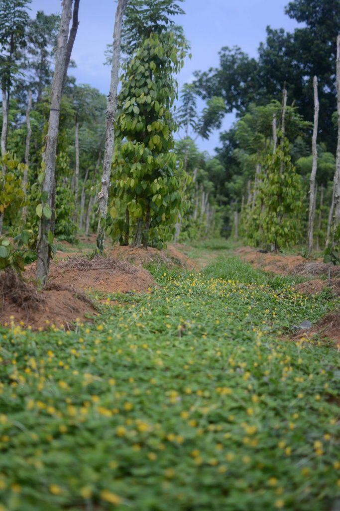 Soil protection in Agroforestry