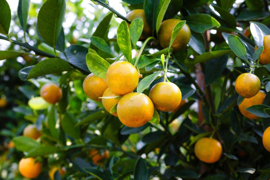 orange-tree-reNature